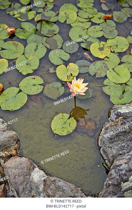 Lotus flower growing in lily pads in pond