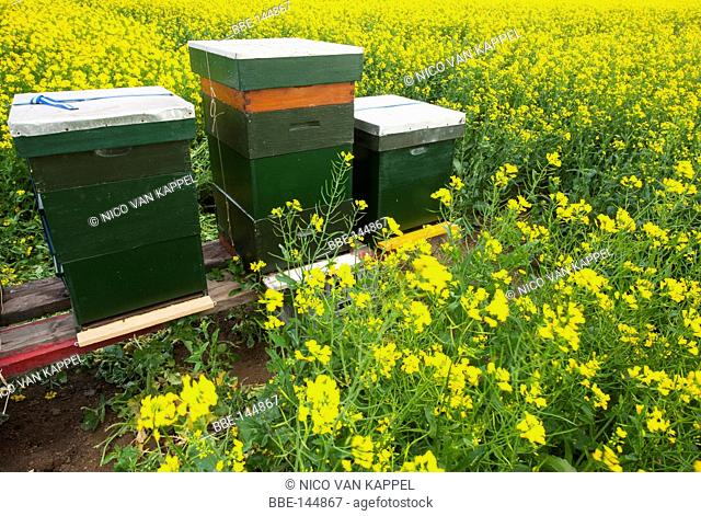 Rapeseed field in summer with beehives