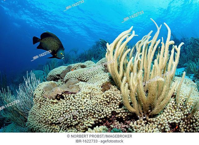Coral reef, Giant slit-pore sea rod (Plexaurella nutans), French angelfisch, (Pomacanthus parus), Little Tobago, Speyside, Trinidad and Tobago, Lesser Antilles