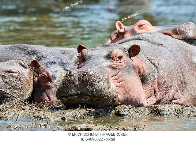 Hippos (Hippopotamus amphibius), Lake Naivasha, Kenya