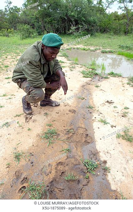 Zulu tracker Skhuni of Protrack Ltd points out white rhino Ceratotherium simum, footprints in sandy mud The spoor has a very recognisable three toed print