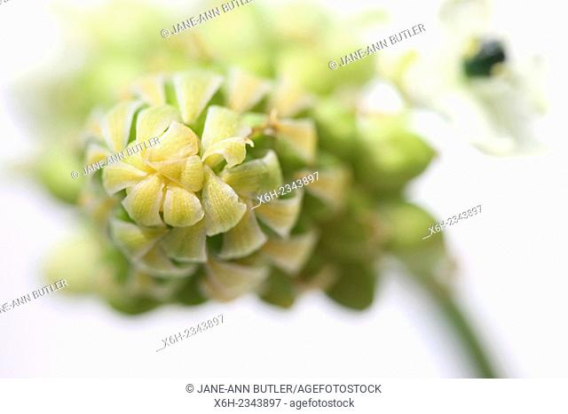 ornithogalum arabicum, arabian star flower, star of bethlehem still life, a healing herb - ''comforter and soother of pains and sorrows''