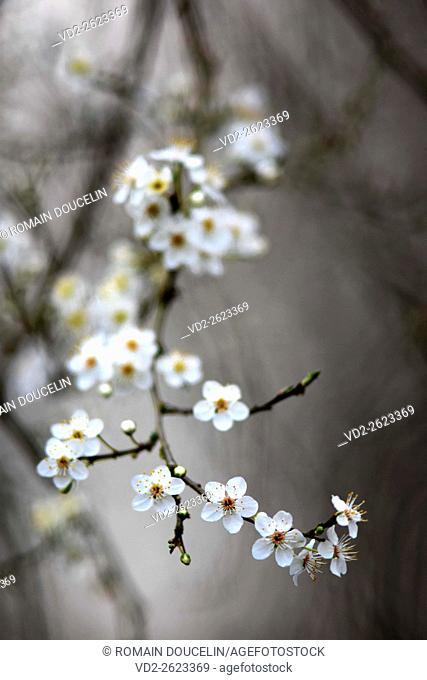 Forest hawthorn blossom in Rhône-Alpes region (France)