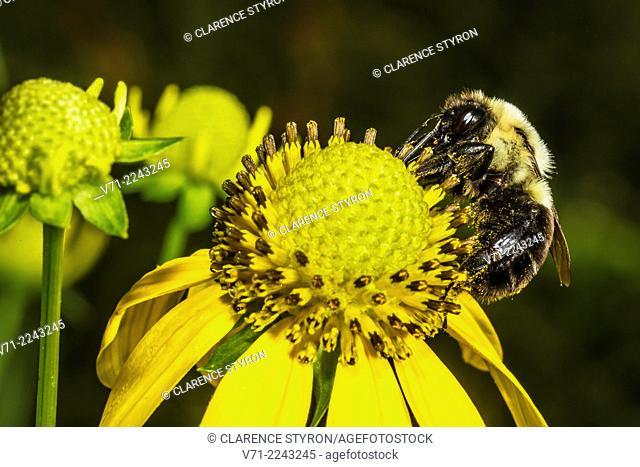 Digger Bee (Anthophora abrupta) Feeding on Cutleaf Daisy (Engelmannia peristenia) Flower