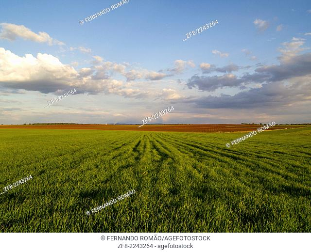 Young cereal field at Serpa, Portugal