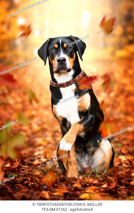 young Greater Swiss Mountain Dog