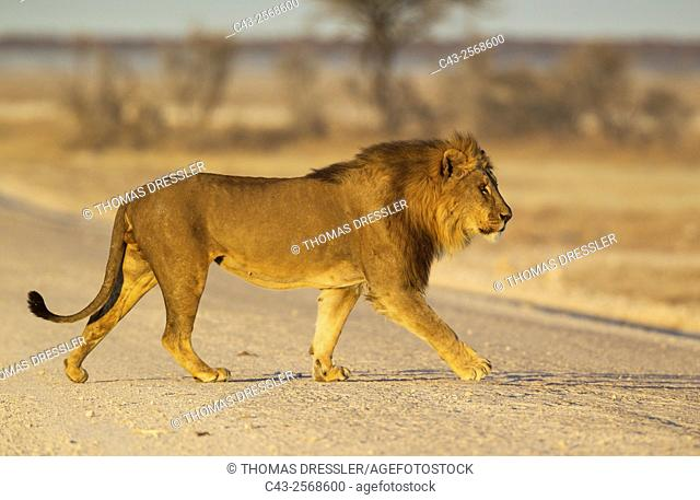 Lion (Panthera leo) - Male crossing a gravel road in the early morning. Etosha National Park, Namibia