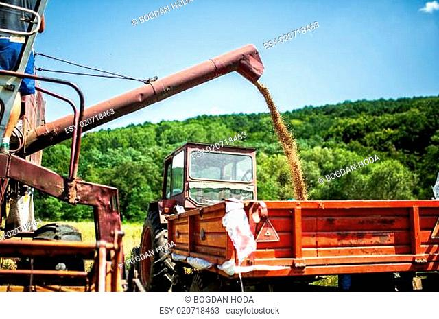 Industrial combine harvester unloading wheat crops in trailer