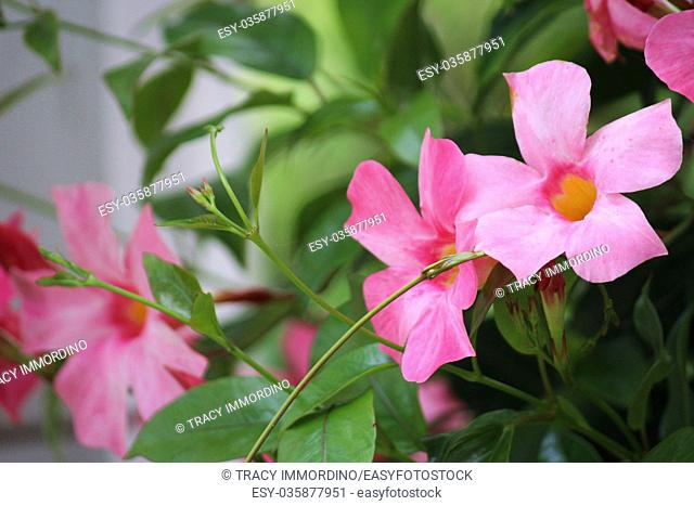 Close up of pink Mandevilla flowers