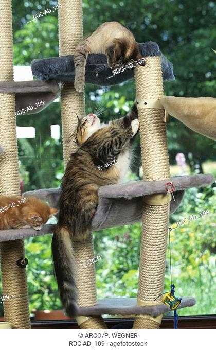 Norwegian Forest Cat and Oriental Shorthair Cat quarreling