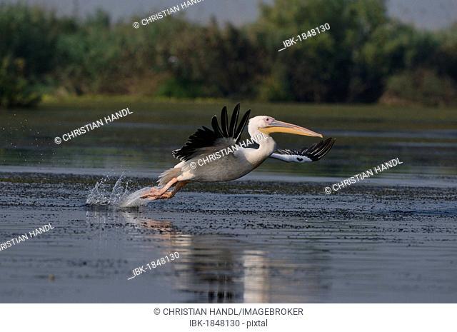 White Pelican (Pelecanus onocrotalus), Danube Delta, Murighiol, Romania, Europe