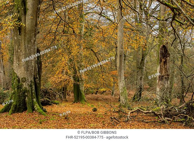 Common Beech (Fagus sylvatica) grazed woodland habitat, with leaves in autumn colour, Mark Ash Wood, New Forest N.P., Hampshire, England, November