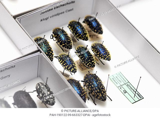 15 January 2019, Bavaria, München: Prepared hairy jewel beetles speared with a needle are stuck in an insect box of the Zoologische Staatssammlung Munich...