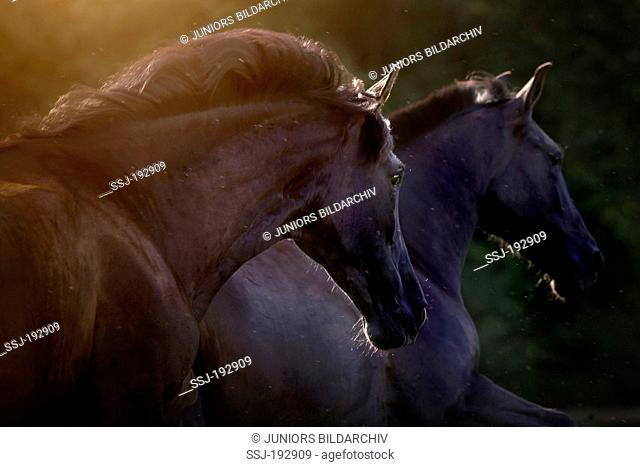 Pure Spanish Horse, Andalusian. Portrait of a pair of black mares at dusk. Germany