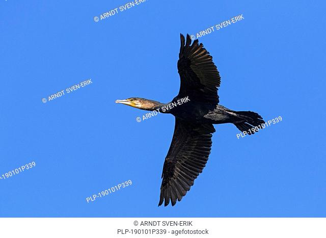 Great cormorant / great black cormorant (Phalacrocorax carbo) flying against blue sky in summer