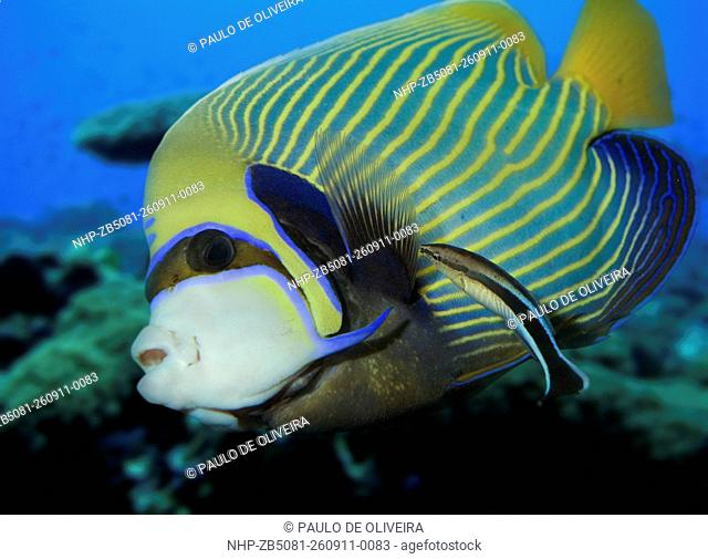 Bluestreak cleaner wrasse, Labroides dimidiatus cleaning Emperor angelfish, Pomacanthus imperator. Composite image. Portugal