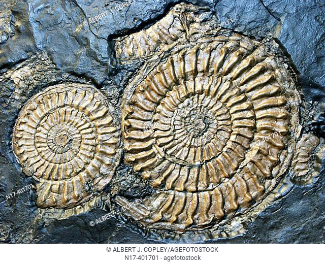 Fossils, strata of the Lias Period (Lower Jurassic or Black Jurassic sequence), England, UK