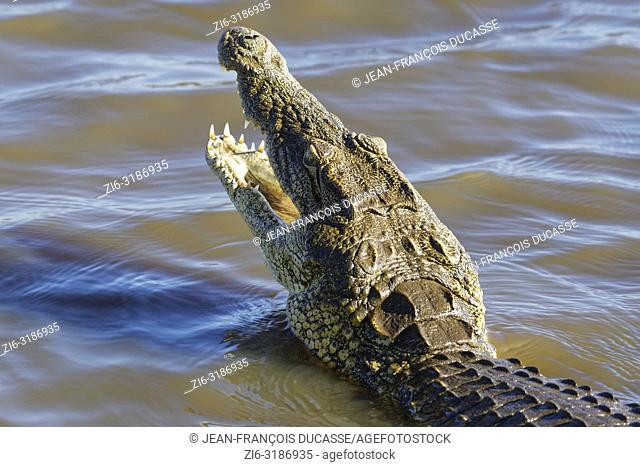 Nile crocodile (Crocodylus niloticus) in shallow water, head raised out of the water, gaping mouth wide open for thermoregulation, Sunset Dam