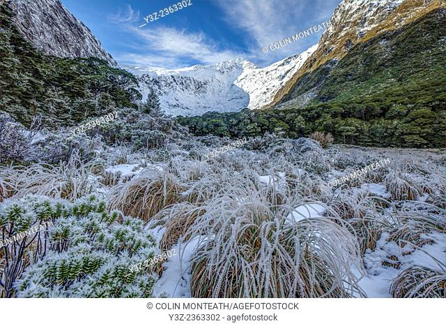 Frosted hebes and grass under Barrier Knob, Gertrude Valley, Fiordland National Park