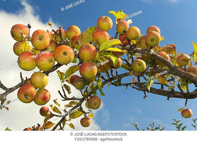 Apple tree with fruits, Sober, Lugo province, Region of Galicia, Spain, Europe
