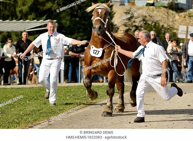 France, Doubs, Maiche, national competition Trait Comtois horse, stallion passing the jury, trotting