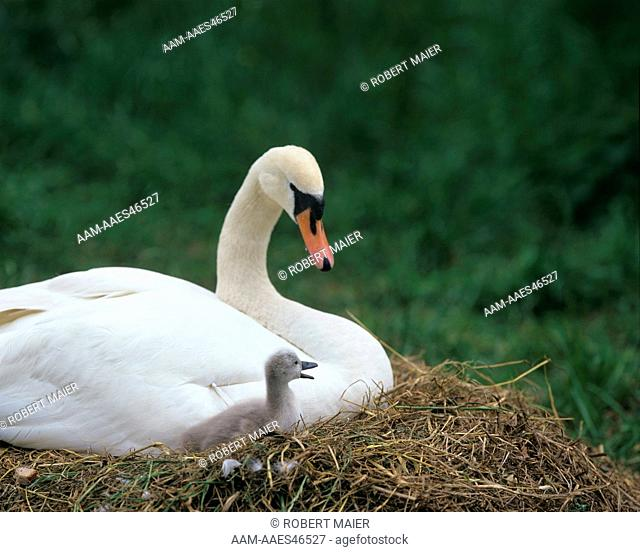 Mute Swan with young (Cygnus olor) Austria