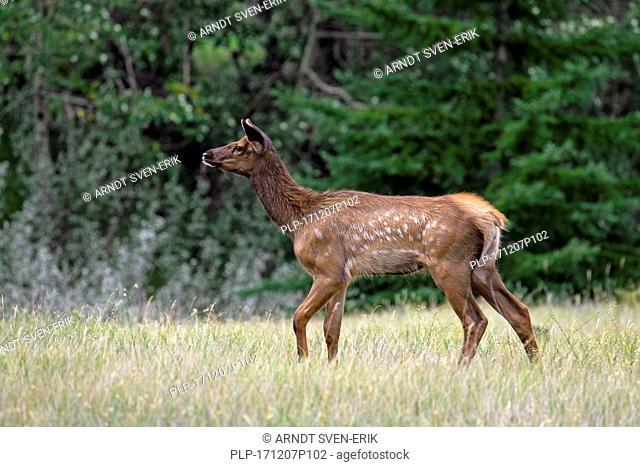 Elk / wapiti (Cervus canadensis) calf in grassland in summer, Jasper National Park, Alberta, Canada