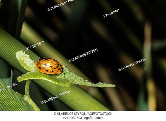 Argus Tortoise Beetle; Beetle (Chelymorpha cassidea) Feeding on Morning Glory (Ipomea sp. ) Among Phragmites australis Stems