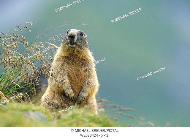 Alpine marmot, Adult, Hohe Tauern National Park, Austria