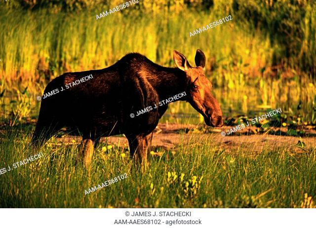 Cow Moose in Wetlands near Pond, early am, (A. alces), Millinocket, ME