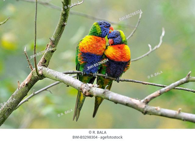 Swainson's Lorikeet (Trichoglossus haematodus moluccanus), couple sitting on a twig side by side