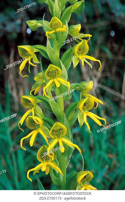 Habenaria Marginata. Family: Orchidaceae. A small ground orchid with yellow flowers which usually grows in wet areas. The flowers are produced at the end of the...