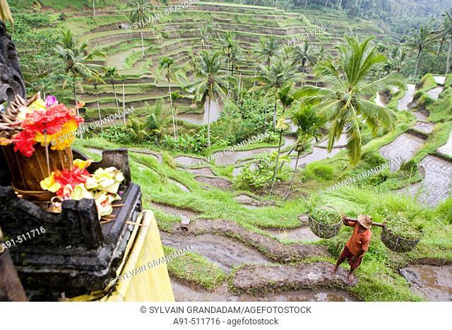 Ricefields near Ubud. Island of Bali . Indonesia