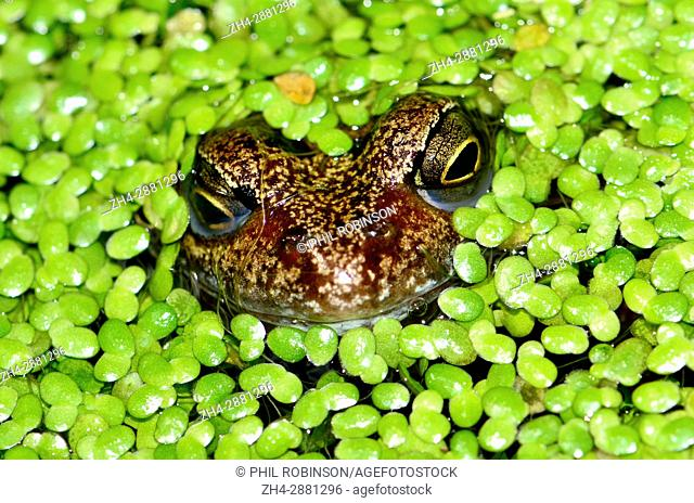 Common Frog (Rana temporaria) in garden pond, covered with lesser duck weed (lemna minor)
