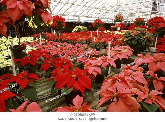 Agriculture - Flowers, Poinsettias growing in a greenhouse / San Luis Obispo County, California, USA