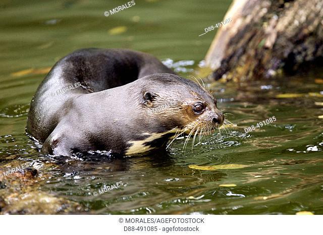 Giant Otter (Pteronura brasiliensis). Venezuela