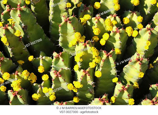 Resin spurge (Euphorbia resinifera) is a shrub endemic to Atlas mountains, Morocco