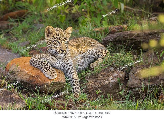 Leopard (Panthera pardus) cub, Masai Mara National Reserve, Kenya, Africa
