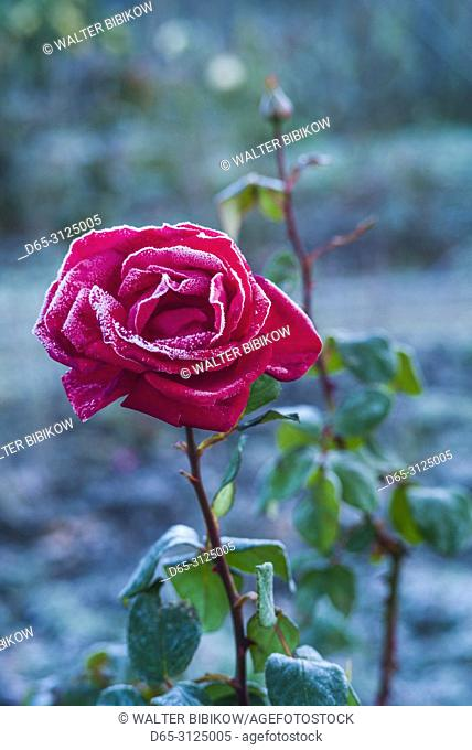 USA, New England, Cape Ann, Massachusetts, Annisquam, roses after first frost