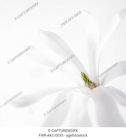 Magnolia - variety not identified, Magnolia