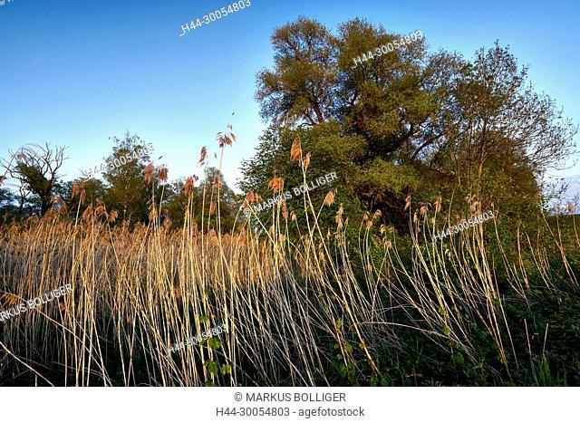Wengimoos, reed, Phragmites communis, wetland, ecosystem, grass, NSG 41, nature reserve, oak, Old oak, handle oak, Quercus robur