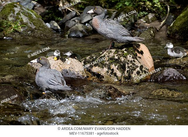 Blue Duck / Whio family group endemic species restricted to fast flowing mountain streams declining in most places, classified as 'threatened' Courthouse Flat...
