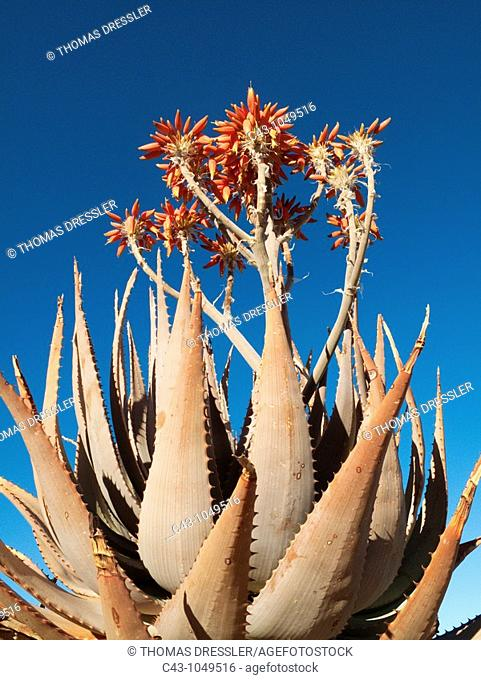 Aloe hereroensis - With inflorescences and flowers  Succulent plant well adapted to arid regions  At the dry Olifants riverbed  Kalahari Desert, Namibia