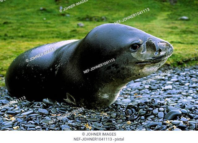 Leopard seal on rocky beach