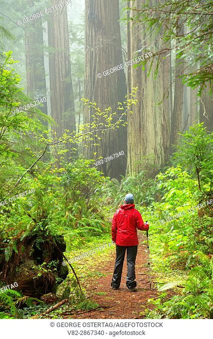 Coast redwood (Sequoia sempervirens) forest along Ossagon Trail, Prairie Creek Redwoods State Park, Redwood National Park, California