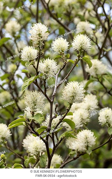 Mountain witch alder, Fothergilla major Monticola Group, White coloured blossoms on the tree