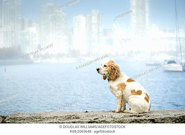 A cocker spaniel in the fog on False Creek in Vancouver, BC, Canada