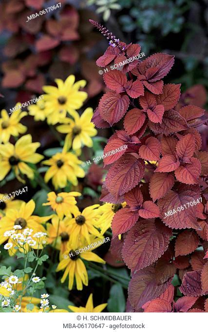 Coleus and yellow coneflower, flowers, Rudbeckia fulgida