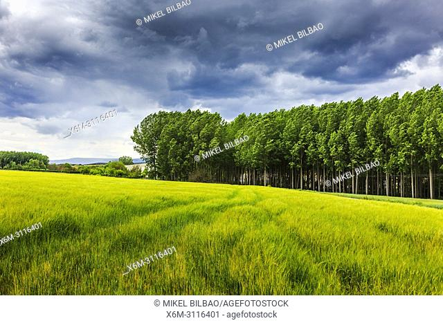 Poplar grove and cereal land. Murieta, Navarre, Spain, Europe