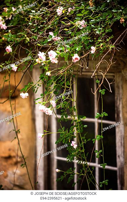 A garden cottage window framed with a climbing rose.Georgia USA
